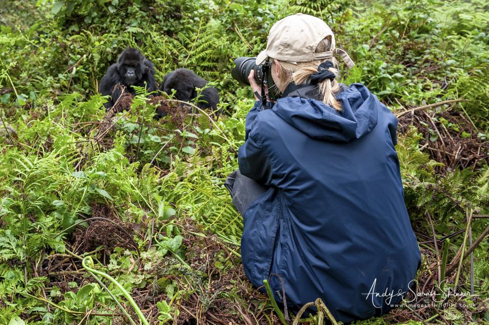 photographing a gorilla chimp and gorilla photo safari Uganda